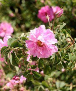 گل محمدی-گلاب گیری
