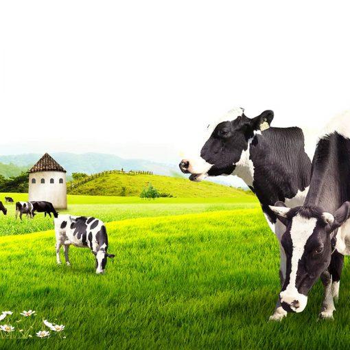 گاو سالم در مزرعه سبز