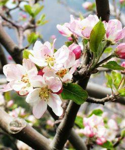 شکوفه درخت بادام