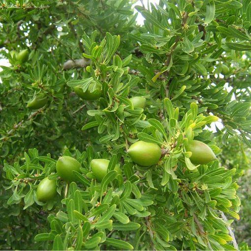 میوه آرگان مراکش