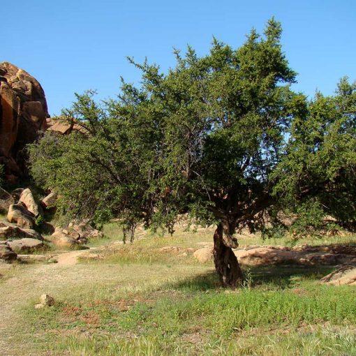 درخت آرگان مراکش